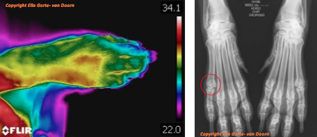 thermografie-hond