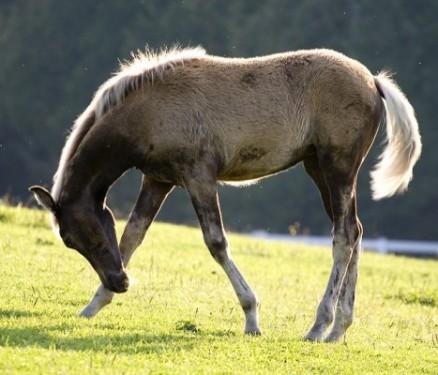 ideale-veulen-jong-paard