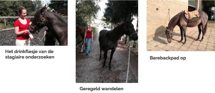veulen-andalusier-paard