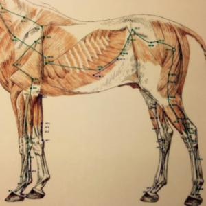 acupunctuur-paard