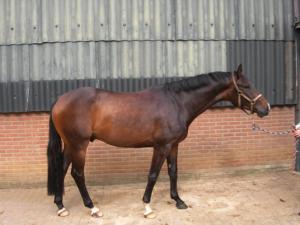 5-jarig-paard