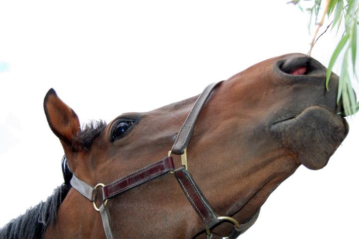 natuurgeneeskunde-paard