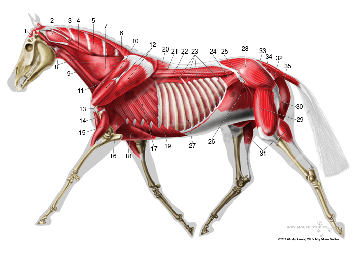 anatomie-paard