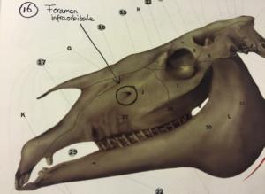 anatomie-schedel-paard