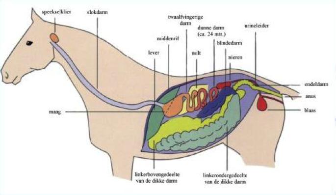 organen-paard