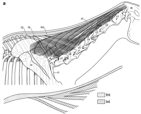 dorsal-neck