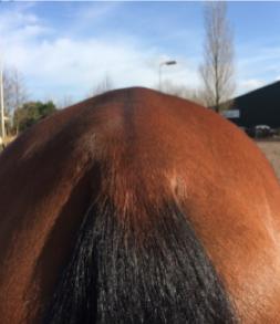 bekkenproblemen-paard