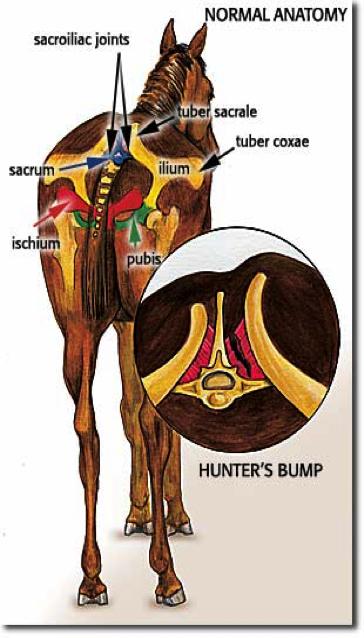 tuber-sacrale-paard