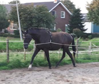 mok-paard