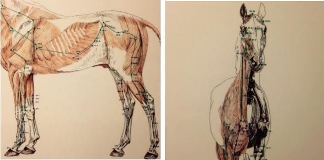galblaas-paard
