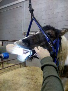 tandarts-paarden