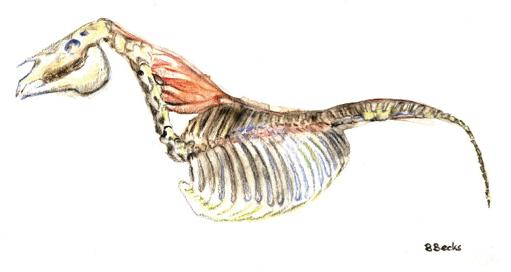 supraspinale-nuchale-ligament